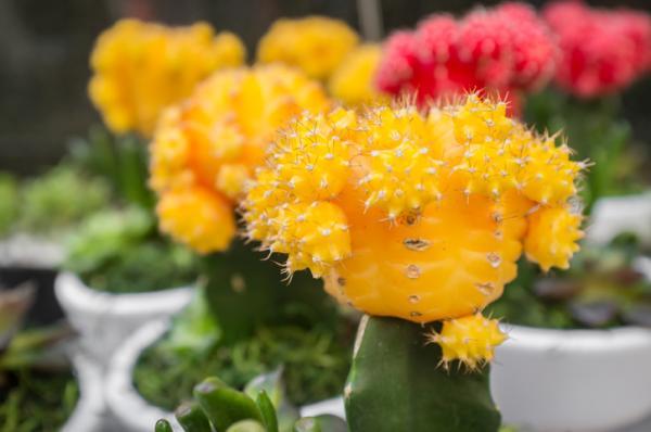 Injerto de cactus: cómo hacerlo y cuidados - Qué es un injerto y para qué sirve