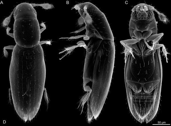 Los animales más pequeños del mundo - Scydosella musawasensis
