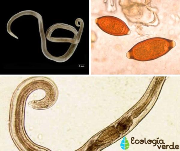 Qué son los nematodos: características, clasificación y ejemplos - Ejemplos de nematodos