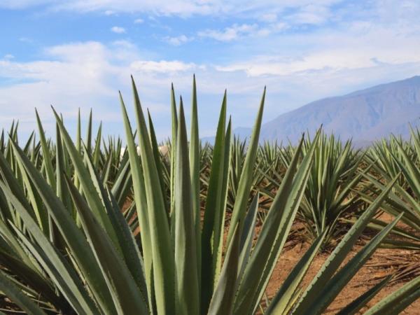 25 nombres de plantas del desierto - Ágave o maguey