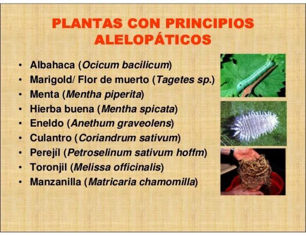 Alelopatía: qué es, tipos y ejemplos - Alelopatía: ejemplos