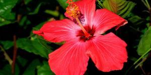 Cuidados del hibisco o hibiscus