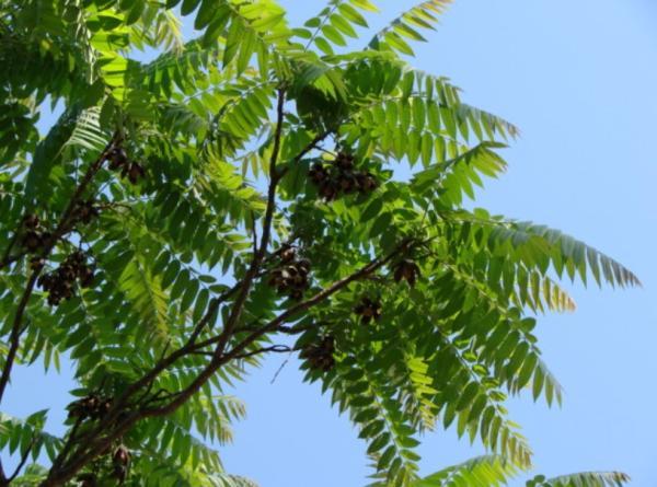 Plantas en peligro de extinción en Paraguay - Cedro o ygary