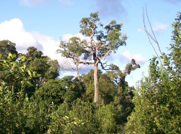 Plantas en peligro de extinción en Paraguay - Perobá