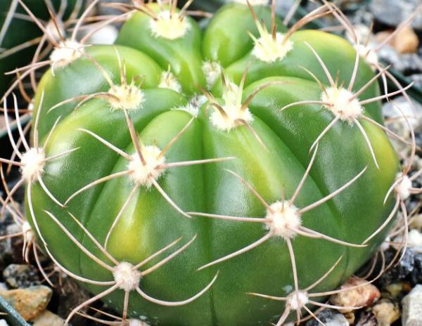 Plantas en peligro de extinción en Paraguay - Tuna