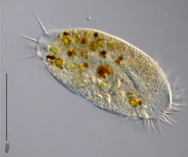 Qué es el zooplancton - Zooplancton: ejemplos