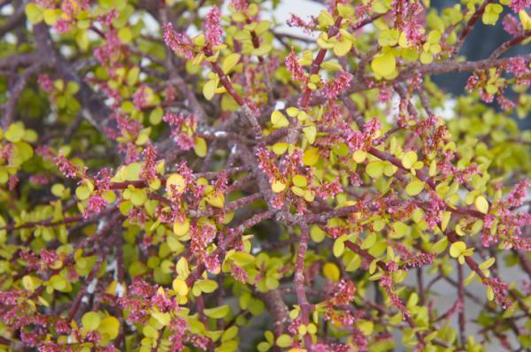 Cómo cuidar un árbol de la abundancia - Características del árbol de la abundancia