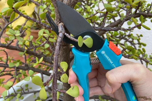 Cómo cuidar un árbol de la abundancia - Cómo podar un árbol de la abundancia
