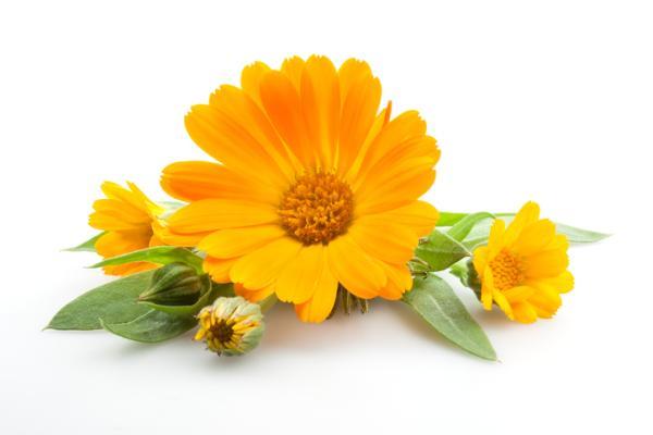 Planta de caléndula: cuidados y para qué sirve - Cultivo de la caléndula