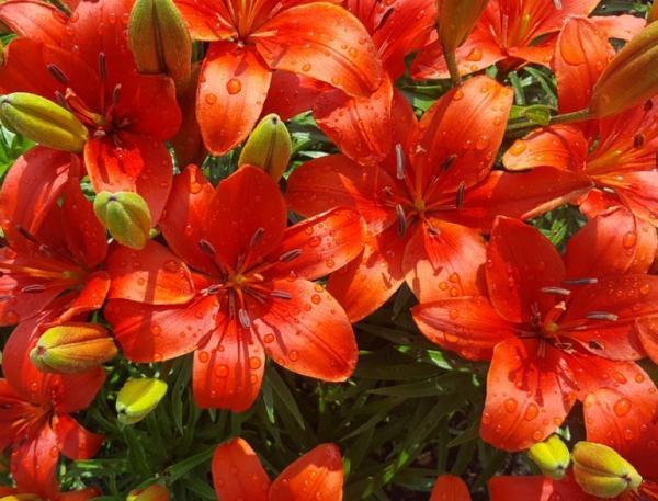Tipos de bulbos de primavera - Azucena