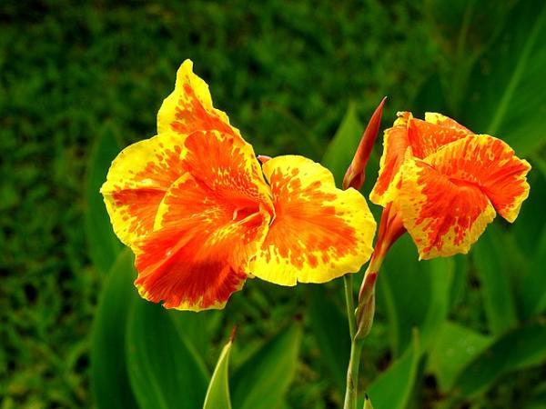 Tipos de bulbos de primavera - Caña de las Indias