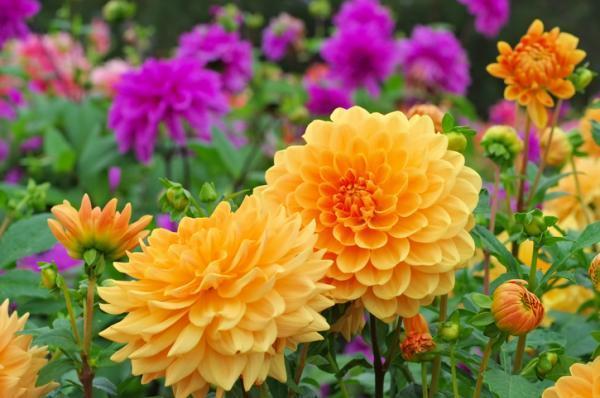 Tipos de bulbos de primavera - Dalia