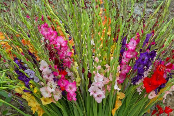 Tipos de bulbos de primavera - Gladiolo