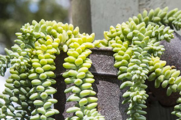 Suculentas colgantes: tipos, cuidados y cómo reproducirlas