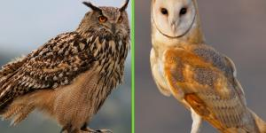 Diferencia entre búho y lechuza