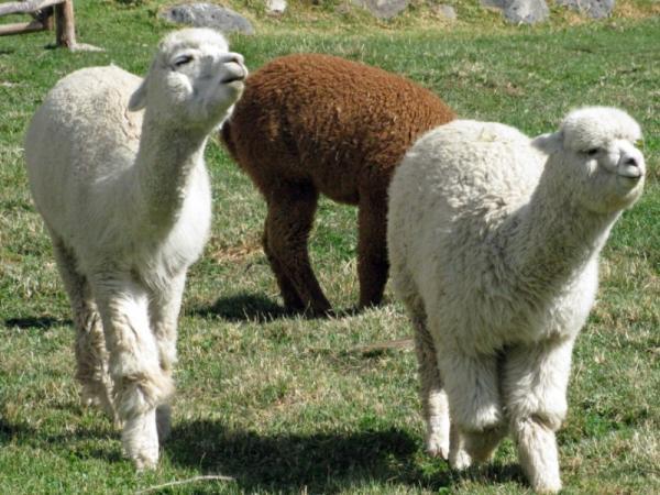 40 animales nativos de Chile - Alpaca (Vicugna pacos)