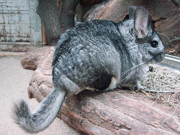 40 animales nativos de Chile - Chinchilla (Chinchilla lanigera)