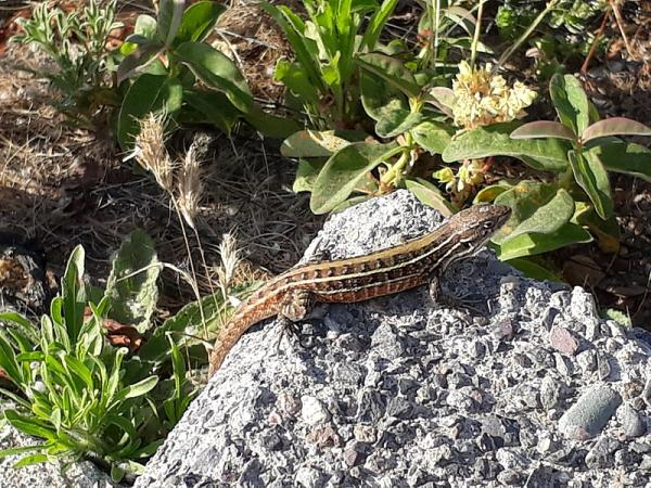 40 animales nativos de Chile - Lagarto chileno (Liolaemus chiliensis)