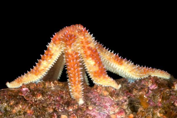 Estrella de mar: características, reproducción y taxonomía - Cómo se desplazan las estrellas de mar