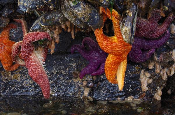Estrella de mar: características, reproducción y taxonomía - Dónde vive la estrella de mar y de qué se alimenta