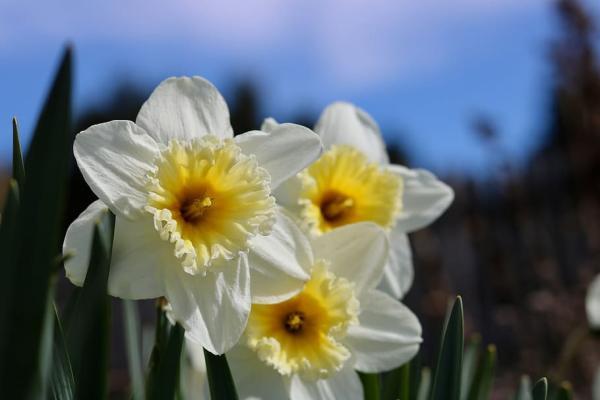 Plantar narcisos: cómo y cuándo hacerlo - Cómo plantar narcisos en maceta - paso a paso