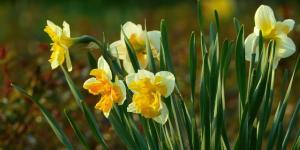Plantar narcisos: cómo y cuándo hacerlo
