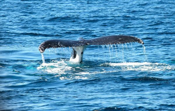 Por qué la ballena azul está en peligro de extinción - Cómo podemos ayudar a la ballena azul para que no se extinga