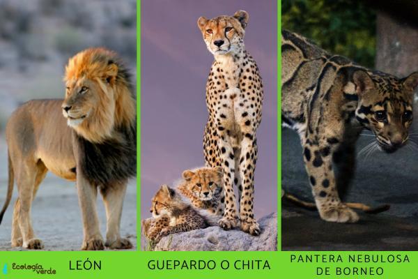 Felinos en peligro de extinción - Especies de felinos en estado vulnerable