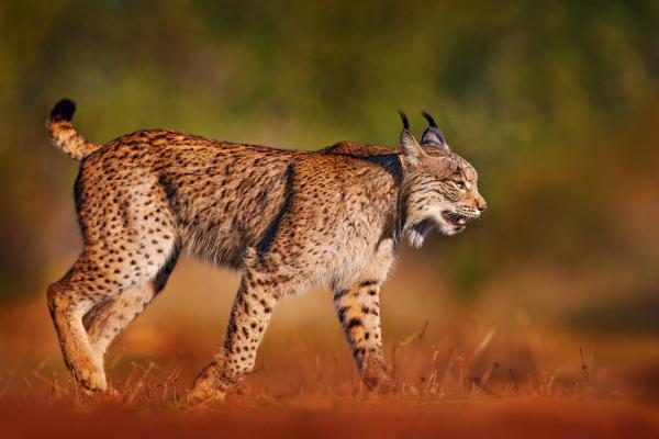 Felinos en peligro de extinción