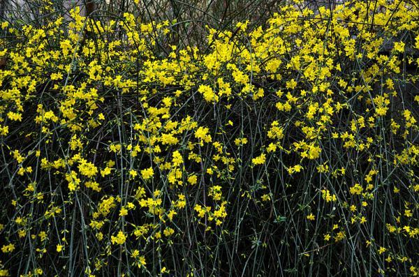 9 tipos de jazmín - Jasminum nudiflorum o jazmín amarillo
