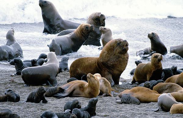 +25 animales de la costa peruana - León marino sudamericano (Otaria flavescens)