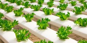Cómo hacer un cultivo hidropónico casero