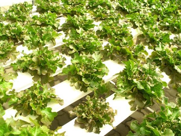 Cómo hacer un cultivo hidropónico casero - Consejos para hacer un cultivo de hidroponía casero con éxito