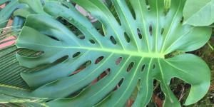 Planta costilla de Adán o Monstera deliciosa: cuidados