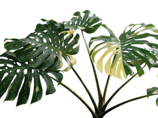 Planta costilla de Adán o Monstera deliciosa: cuidados - Por qué mi planta costilla de Adán tiene las hojas amarillas