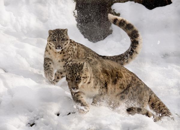 Por qué el leopardo de las nieves está en peligro de extinción