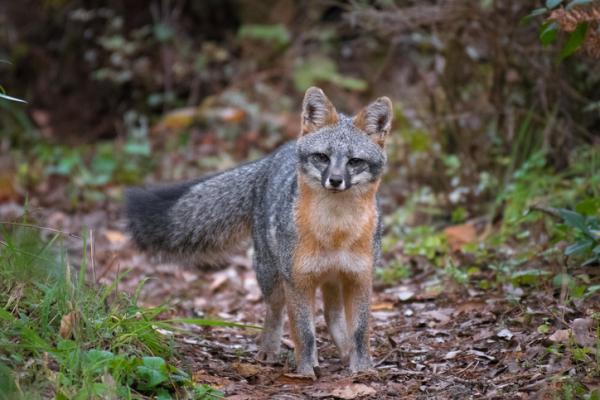 Cuáles son las características de los murciélagos - Amenazas y depredadores de los murciélagos