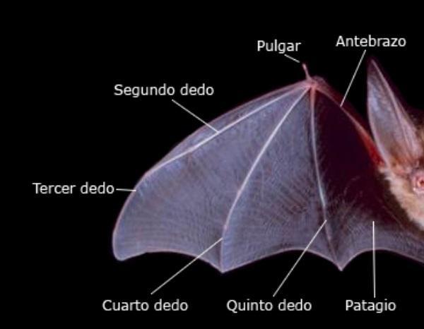 Cuáles son las características de los murciélagos - Cómo son los murciélagos: características principales