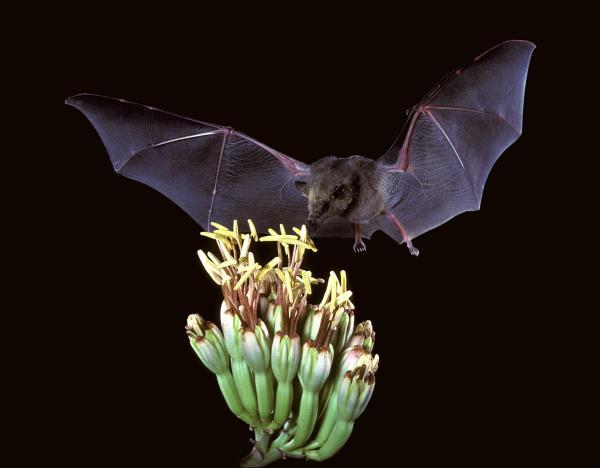 Cuáles son las características de los murciélagos - Qué comen los murciélagos: la alimentación