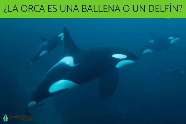¿La orca es una ballena?