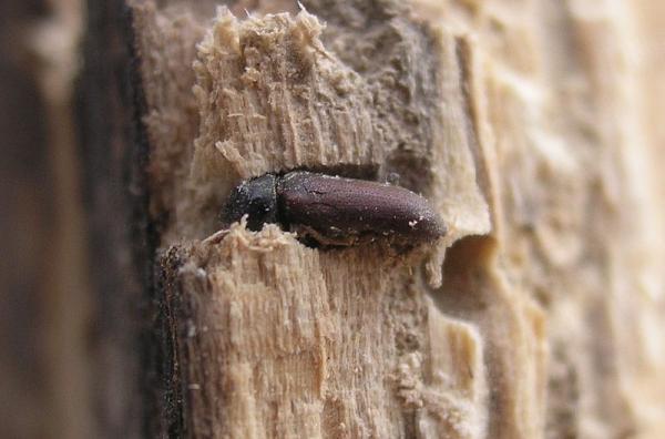 7 insectos que comen madera - Anobium punctatum o escarabajo de la madera