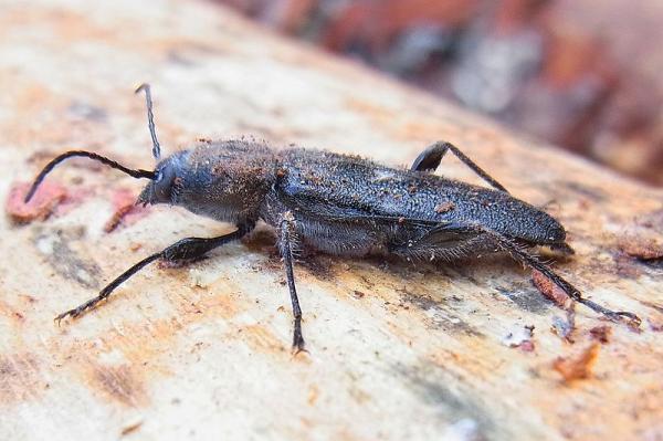 7 insectos que comen madera - Hylotrupes bajulus o bicho taladro