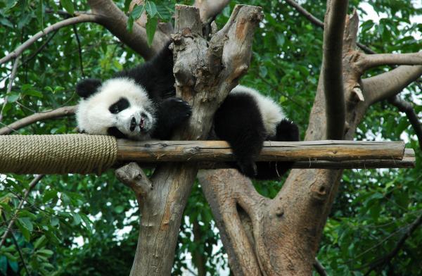 ¿El oso panda se extingue? - ¿Cómo ha dejado de estar en peligro de extinción el oso panda?