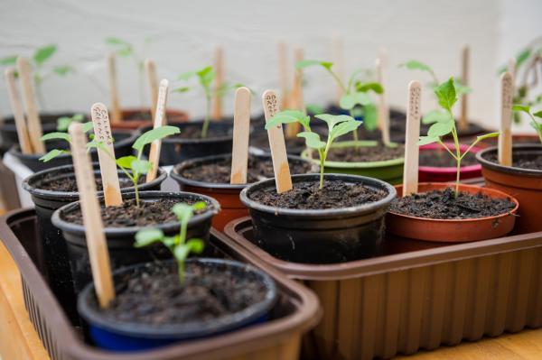 Germinar semillas de pimiento: cómo hacerlo y cuidados - Cómo germinar semillas de pimientos en un semillero