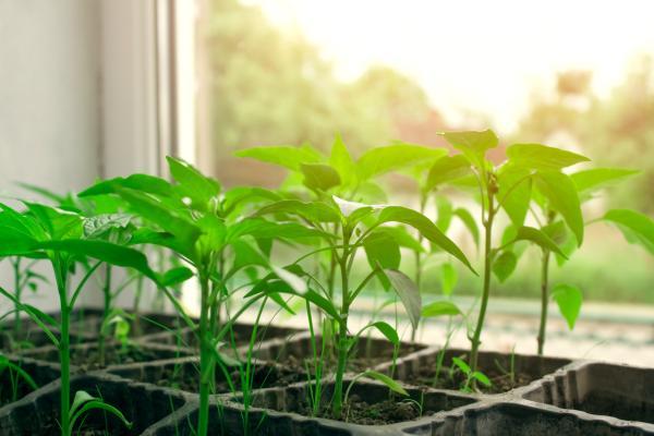 Germinar semillas de pimiento: cómo hacerlo y cuidados - Cuidados de las semillas de pimientos germinadas