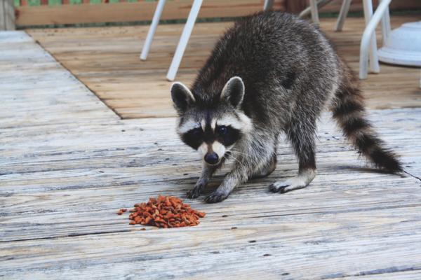 ¿Se puede tener un mapache como mascota?