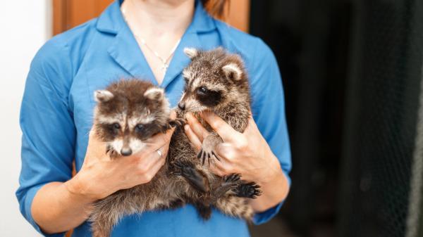 ¿Se puede tener un mapache como mascota? - Tener un mapache como mascota - responsabilidad penal