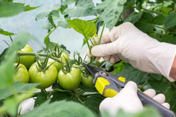 Cómo podar tomates