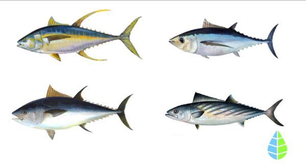 Diferencia entre bonito y atún rojo