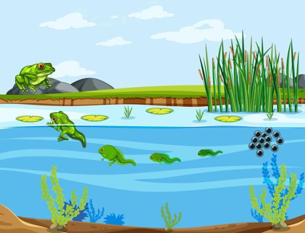 Qué es la metamorfosis - Metamorfosis de los anfibios